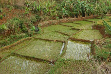 Paddy Plantation Stock Photo - 2170582