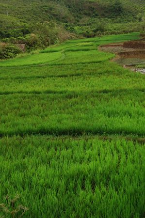 Sawah (Indonesian Rice Field) Stock Photo - 2170574