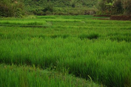 Rice Field Lanscape Stock Photo - 2170569