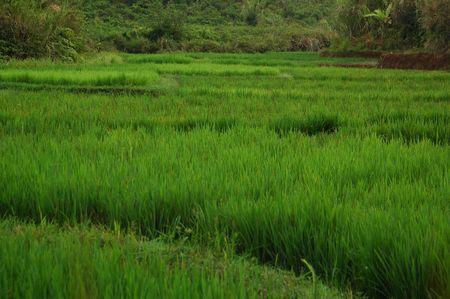 Rice Field Lanscape Stock Photo - 2170569