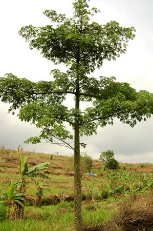 Ceiba petandra Tree Stock Photo