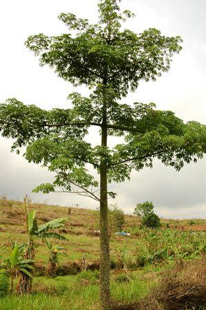 Ceiba petandra Tree Stock Photo