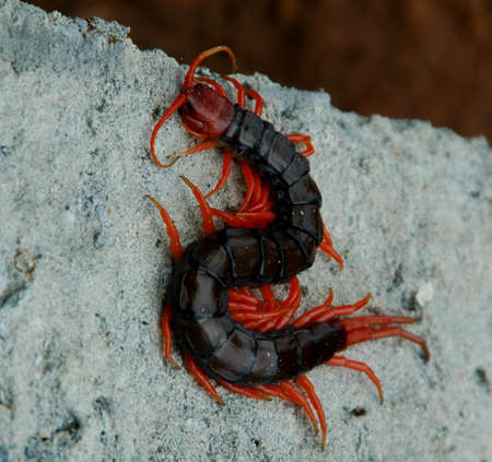 indonesian biodiversity: Red Centipede