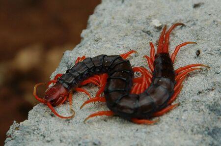 The Centipede Dragon