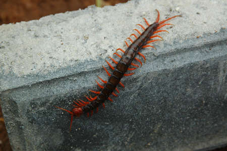 indonesian biodiversity: The Tropical Centipede
