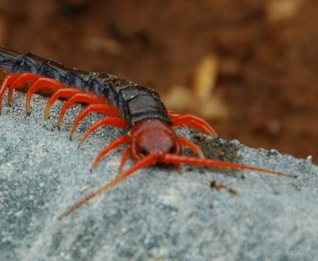 Centipedes Head Stock Photo