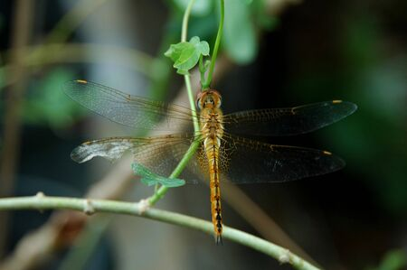 insecta: A Dragonfly with broken wings Stock Photo