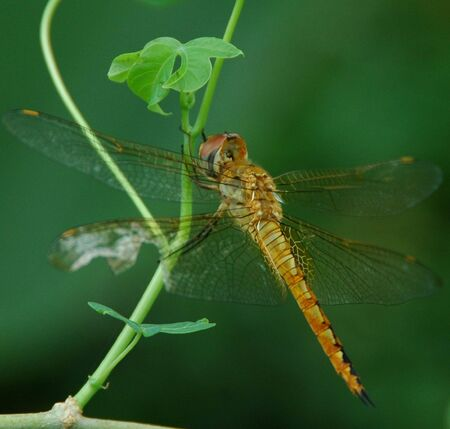 anisoptera: A Yellow Dragonfly Pearched on Casava Tree