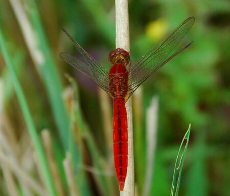 anisoptera: Red Dragonfly