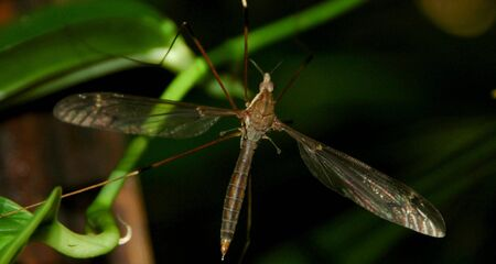 crane fly: A Crane Fly, An Insect Wich Looked Like A Giant Mosquito Stock Photo