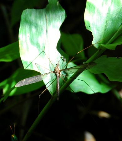 crane fly: A Crane Fly, Mosquitolike Flies, Found in the Forest of West Java, Indonesia