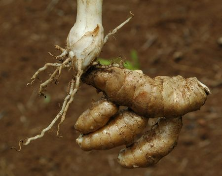 Zedoariae Rhizoma, one of Indonesian Herbal Stock Photo