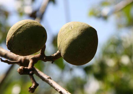 Candle Nuts (Aleurites moluccana)