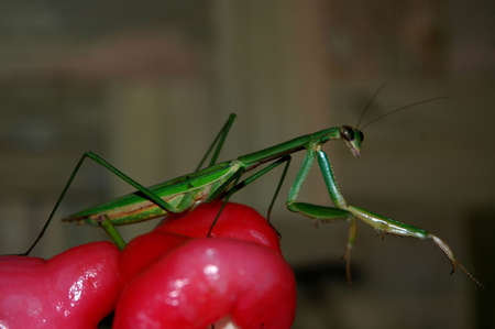 indonesian biodiversity: Mantis or Belalang Sembah (Indonesia) Stock Photo