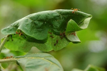 collaborating together:  Waever Ants collaborating to pull nest leaves together