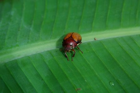 A Banana Beetle photo