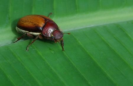 The Banana Beetle photo