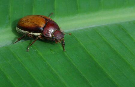 The Banana Beetle Stock Photo - 2366214