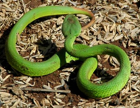 indonesian biodiversity: A Green Snake