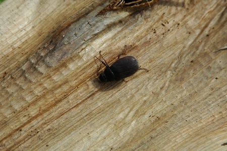 insecta: Black Bugs on Old Banana Tree