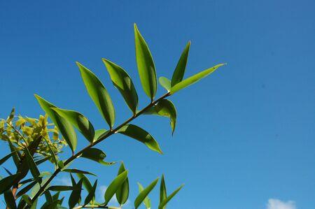 Agathis dammaras Leaf