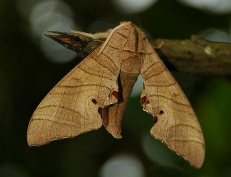 metamorphose: A Brown Moth pearched on a Branch