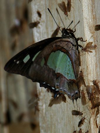 The Green Moth Found In Indonesia Stock Photo