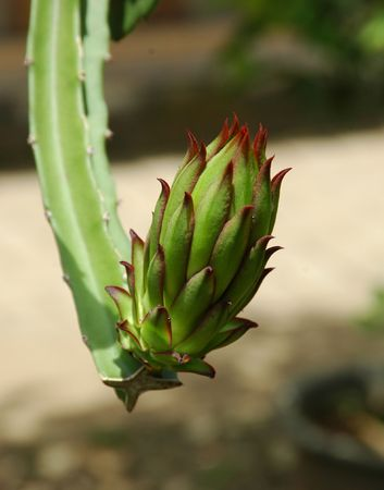 chilled out: Hylocereus undatus, is popular eaten chilled, out of hand.