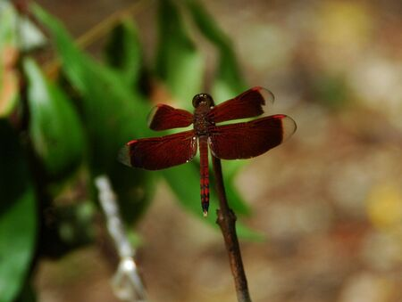 anisoptera: Brown Dragonfly Stock Photo