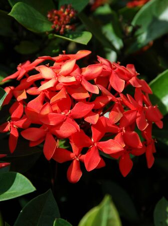 Red Ixora Stock Photo - 2416391