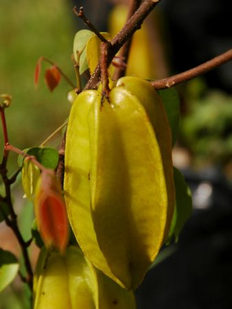 belongs: Starfruit (Averrhoa carambola), a tropical fruit native to the Malayan archipelago also called Carambola, belongs to the  Oxalidaceae. Stock Photo