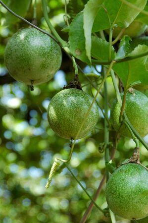 passiflora: Fresh Passiflora Stock Photo