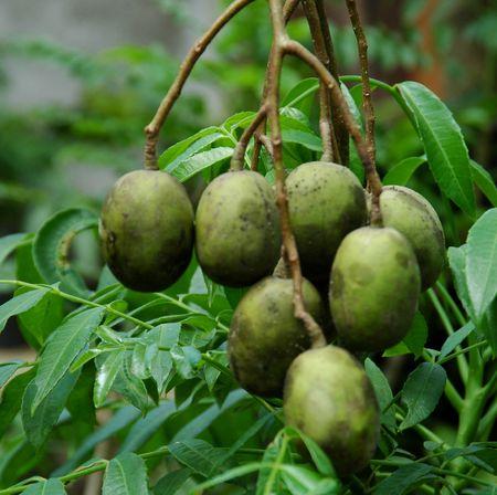 Ambarella (Spondias dulcis Forst.) Stock Photo - 2419860