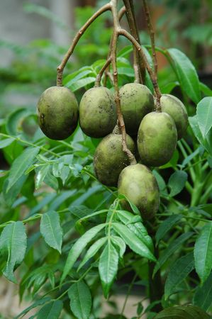 Great Hog Plum (Spondias dulcis Forst.) Stock Photo - 2419864