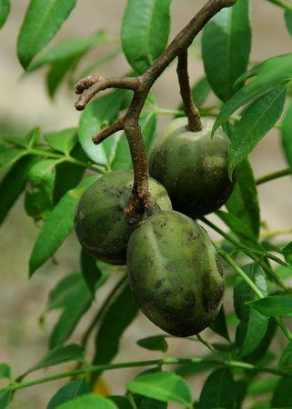 Kedondong (Spondias dulcis Forst.) Stock Photo - 2419856