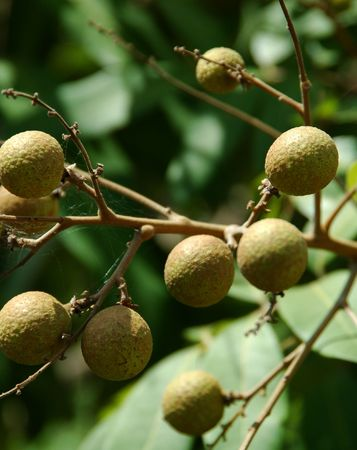 Dimocarpus longan a.k.a Lengkeng (Indonesia) Stock Photo