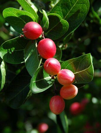 natal: Carissa macrocarpa a.k.a Natal Plum