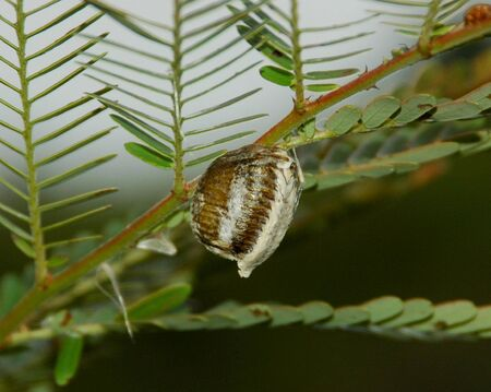 An Eegg of Mantis Stock Photo