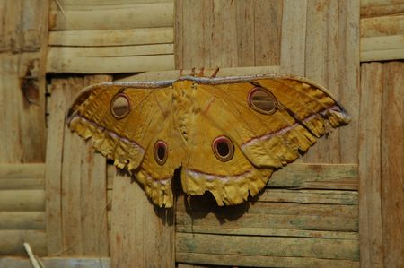 insecta: A Large Yellow Moth Found in Indonesia