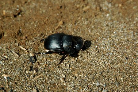 scarabaeidae: The dung beetles include several subfamilies of the large family Scarabaeidae, the scarab beetles. Stock Photo