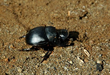 exclusively: Dung beetles (Heliocopris dominus), also known as tumble bugs, are beetles which feed partly or exclusively on feces