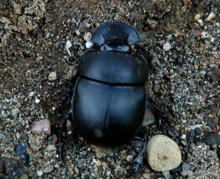 Kumbang Tahi a.k.a Elephant Dung Beetle Stock Photo - 2421330