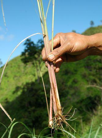 Roots of Citronella a.k.a Serai wangi (Indonesia) Stock Photo