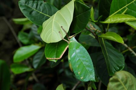 The leaf insects found in Indonesia