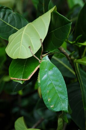 insecta: Camouflage of Leaf Insect Stock Photo