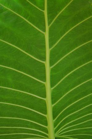 Greater Alocasia Leaf photo