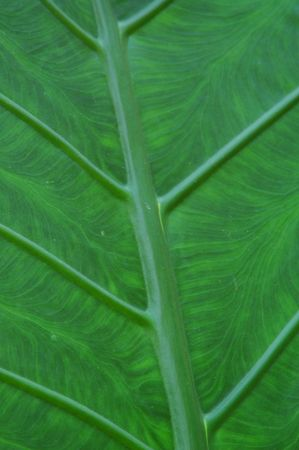 Gian Taro Leaf photo