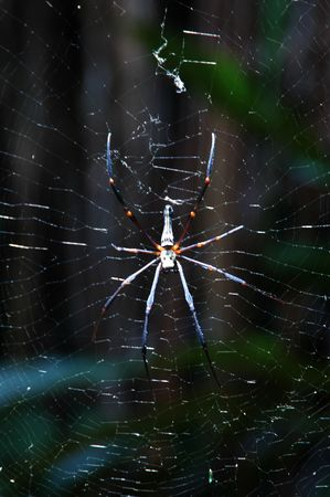 A Large Spider Found In Indonesia