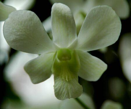 Phalaenopsis amabilis Orchid Stock Photo - 3080676