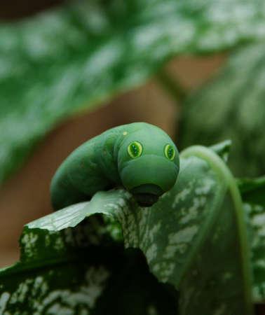 occhi grandi: Il Sentadu, Un Big Eyes Caterpillar trova in Indonesia Archivio Fotografico